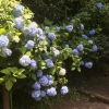【北鎌倉・明月院】紫陽花のシーズンの「あじさい寺」は人でいっぱい?紫陽花ではなく